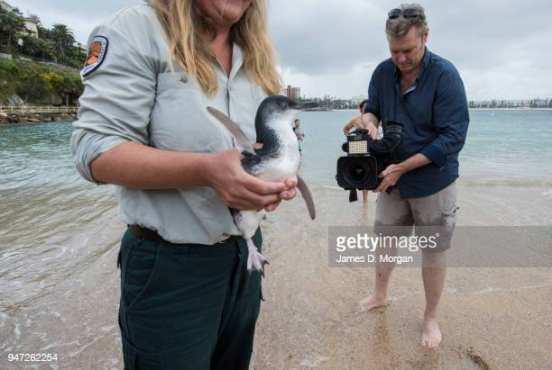 One of the five Little Penguins before being released back into the water as media film the event at Shelly Beach on April 17 2018 in Sydney...