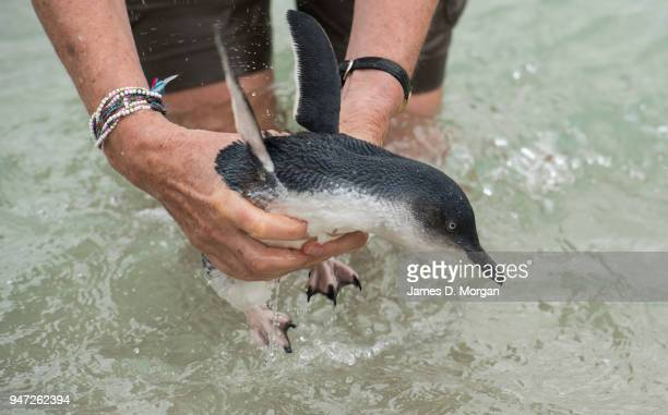 One of the five Little Penguins before being released back into the water at Shelly Beach on April 17 2018 in Sydney Australia The five Little...