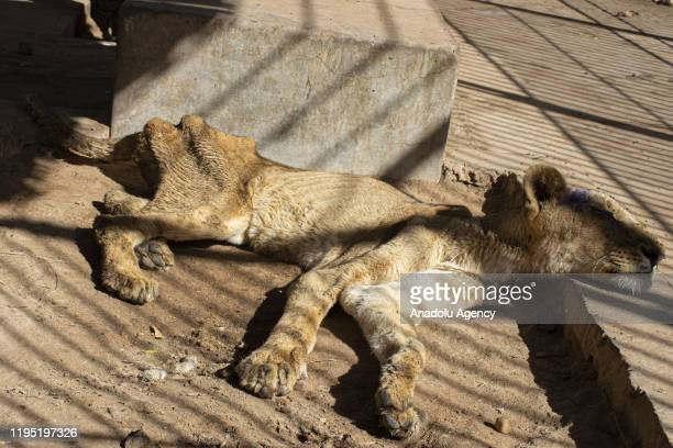One of the five malnourished lions lies on the ground in its cage at AlQureshi Park in Khartoum Sudan on January 21 2020 Five lions at the AlQureshi...