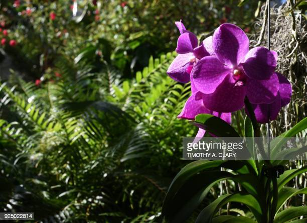 One of the flowers on display during the 16th Annual Orchid Show at the New York Botanical Garden media preview February 27 2018 in New York The...