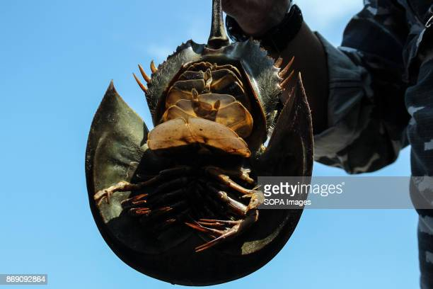 One of the horseshoe crab being smuggled seen displayed by the Indonesian authority The Indonesian Navy foiled smuggling horseshoe Crab at the port...