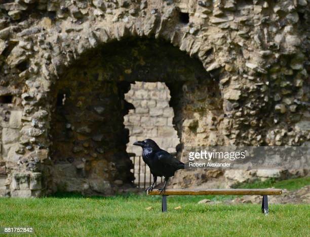One of the iconic ravens at the Tower of London stands on a raven perch installed inside the royal complex in London England Captive ravens have...