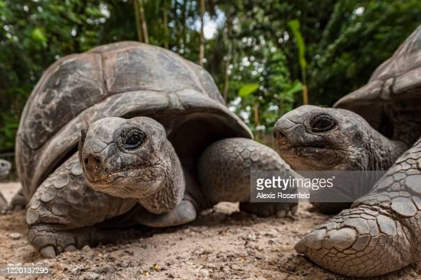 One of the largest tortoises in the world, Aldabra giant tortoise on February 2011, Seychelles, Indian Ocean. Aldabrachelys gigantea can reach 300kg....