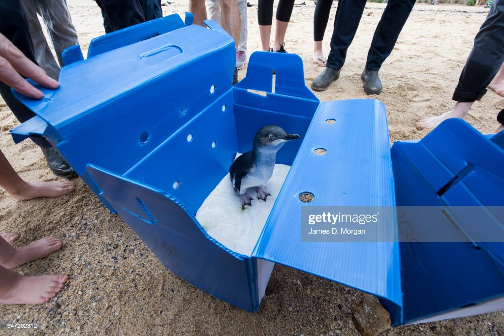 One of the Little Penguins stands in its box as onlookers stand beside before being released at Shelly Beach on April 17, 2018 in Sydney, Australia. The five Little Penguins were released by veterinarians from the Taronga Wildlife Hospital, after being nursed hack to health over the past two months. Treatment was a provided for conditions and injuries including dehydration, a fishing hook injury and a broken foot. The Taronga Wildlife Hospital cares for around 1,500 native animals each year. The animals are brought to the hospital after being found sick, injured or orphaned.