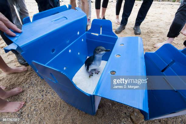 One of the Little Penguins stands in its box as onlookers stand beside before being released at Shelly Beach on April 17 2018 in Sydney Australia The...