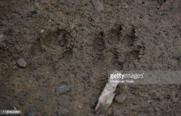 One of the many pugmarks of leopards at the spot on November 30 2019 in Greater Noida India Four teams from the forest department were rushed to a...