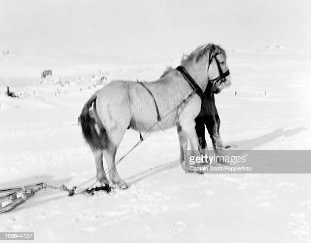 One of the men with the pony Victor at Cape Evans photographed during the last tragic voyage to Antarctica by Captain Robert Falcon Scott circa...