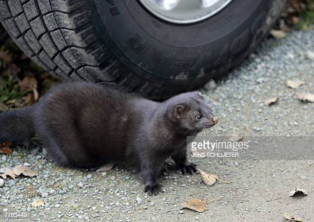 One of the mink hides under a car after it and more than 10,000 others were released from a breeding facility in the eastern German town of Grabow by...