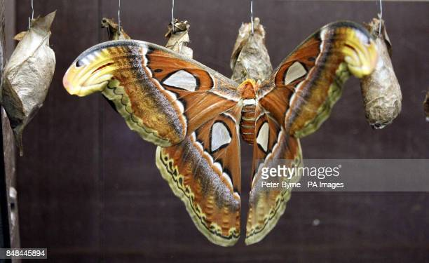 One of the Newly emerged Atlas moths with a wingspan of 30cm it is the largest moth species in the world but despite their grandeur they will only...