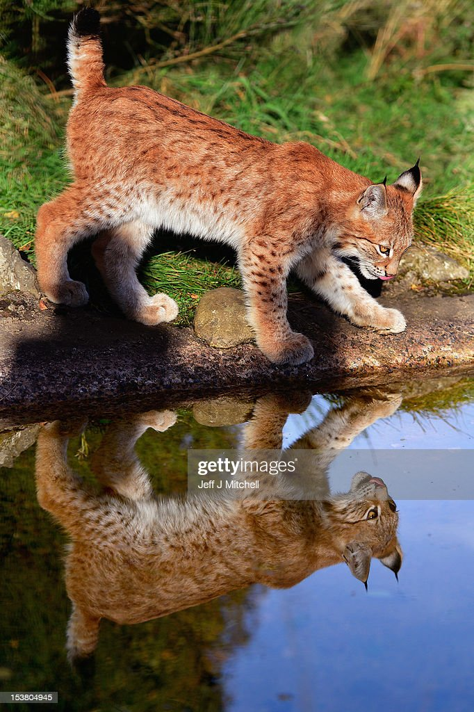 One of the Northern Lynx kittens takes a drink from the pond in their enclosure at the Highland Wildlife park on October 9, 2012 in Kingussie, Scotland. The feline twins are believed to be the type of lynx found historically in Scotland. The Highland Wildlife Park specialises in Scottish animal species, both past and present, and species that are well adapted to cold weather.
