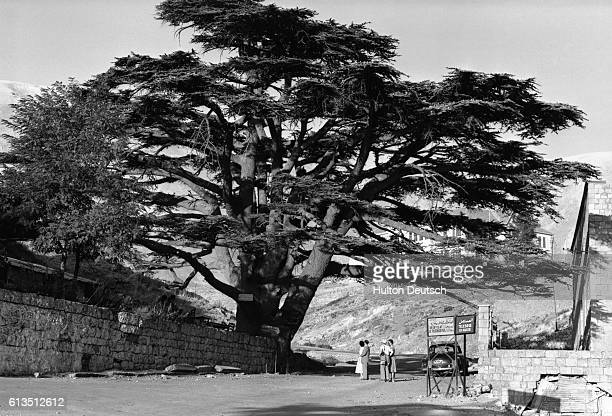 One of the oldest famous Cedar trees of Lebanon in 1955