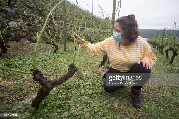 One of the owners of Adega Amedo winery included in the D.O. Ribeira Sacra, Lorena Amedo, shows the broken vine shoots and destroyed vines in the...