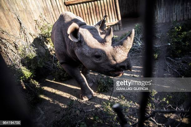One of the six black Rhinos is waiting to be transported to Chad's Zakouma National Park on May 1 at the Addo Elephants National Park in South Africa...