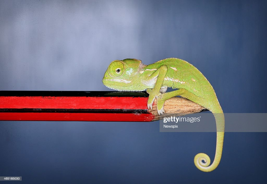 One of the six veiled chameleon hatchlings sits on the end of a pencil at Taronga Zoo on February 26, 2015 in Sydney, Australia.