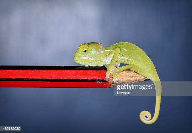 One of the six veiled chameleon hatchlings sits on the end of a pencil at Taronga Zoo on February 26 2015 in Sydney Australia