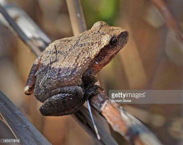 One of the species of frogs that lays eggs in vernal pools is the spring peeper a tiny frog that is easily missed