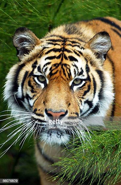 One of the Sumatran Tigers poses for the camera at the Hamilton ZooThe Zoo has three Tigers that have come from Wellington Zoo