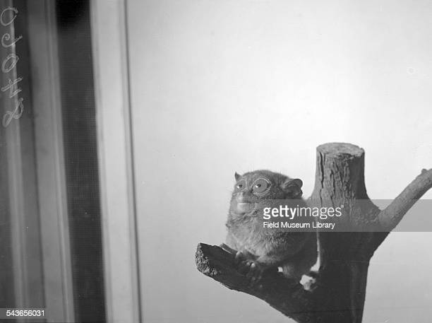 One of the tarsiers now living at the Brookfield Zoo Chicago Illinois October 15 1947 The ears are partly folded back in the strange manner peculiar...