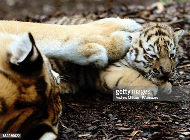 One of the three new Amur tiger cubs as yet unnamed is pawed by mum Sasha after they were born on May 11 at Highland Wildlife Park in Kingussie near...