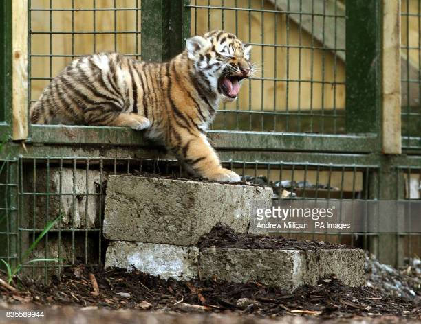 One of the three new Amur tiger cubs as yet unnamed takes its first steps into its enclosure after they were born on May 11 at Highland Wildlife Park...