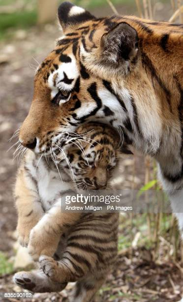 One of the three new Amur tiger cubs as yet unnamed with mum Sasha after they were born on May 11 at Highland Wildlife Park in Kingussie near Aviemore
