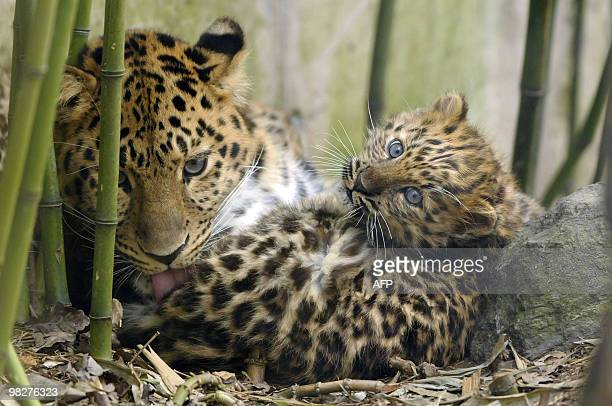 One of the three newlyborn Amur leopards is pictured next to its mother 'Elixa' on March 29 2010 at Mulhouse zoo eastern France They were born on...