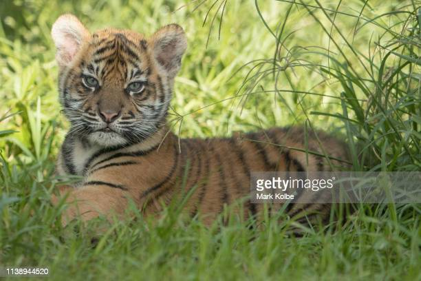 One of the three Sumatran Tiger cubs is seen on display at Taronga Zoo on March 29 2019 in Sydney Australia The three Sumatran Tiger cubs were born...