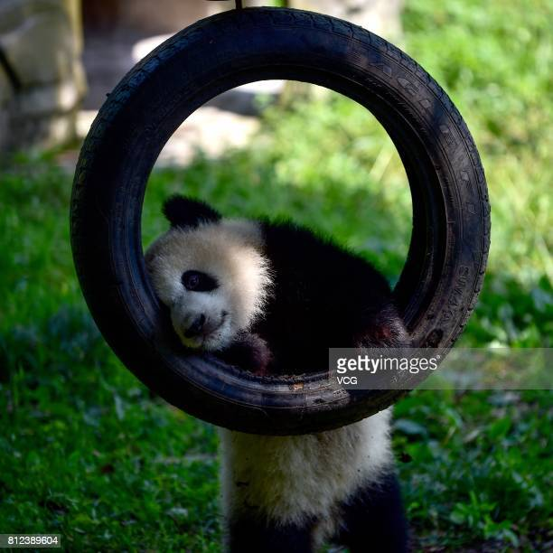 One of the twin giant pandas plays during the twins' 1yearold birthday party at Chongqing Zoo on July 11 2017 in Chongqing China Twin giant pandas Yu...
