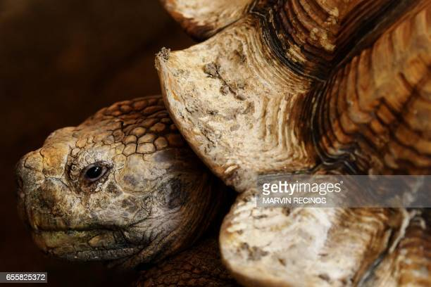 TOPSHOT One of the two African spurred tortoises donated by the Salvadorean Arauca breeding farm is pictured during their presentation at the...