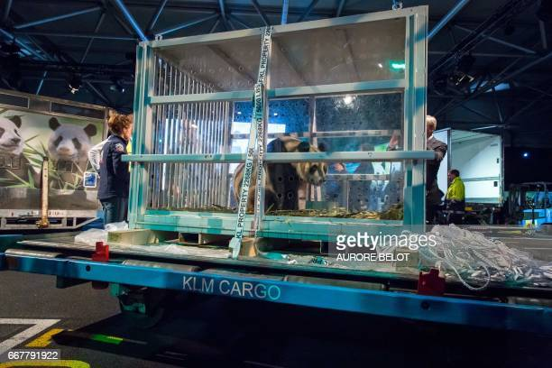 One of the two pandas cubs Xing Ya and Wu Wen is pictured as they are introduced to the public at Schiphol airport in Amsterdam on April 12 2017...