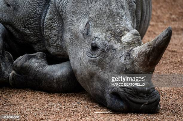 One of the two rhinos brothers Ian and John arrived on April 25 from the Costwold Wildlife Park and Gardner in Oxfordshire England is pictured on May...