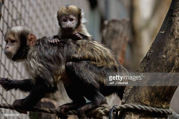 One of the two yellow breasted capuchins clings to its mother's back in their enclosure at Edinburgh Zoo on May 24, 2013 in Edinburgh, Scotland. The...