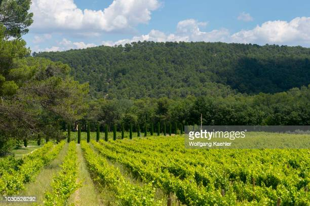 One of the vineyards of the Chateau la Coste near Aix-en-Provence in the Provence, France with Italian cypress trees in the background.