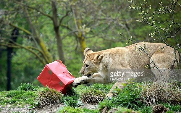 One of three African Lion cubs plays with a gift wrapped box on April 22 2016 at the Zoologic Park in Paris The Paris Zoological Park is celebrating...