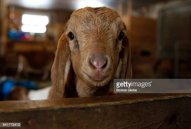 One of three baby goats who were born during the first blizzard of the year are seen at Drumlin Farm in Lincoln Mass on March 1 2015