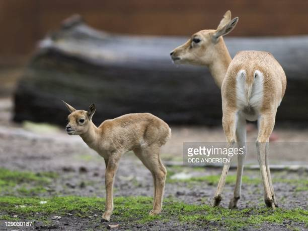 One of three blackbuck fawns is seen next to one of the elders in the herd at the Zoo in Berlin on October 11, 2011. The herd in the German capital's...