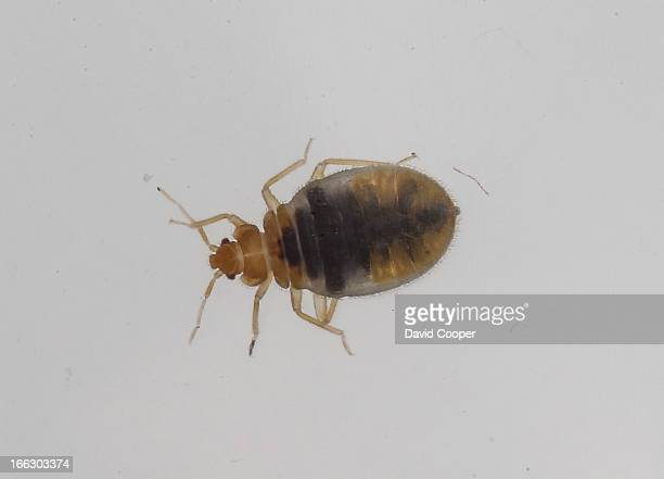 One of three live bedbugs that crawled out of a library book