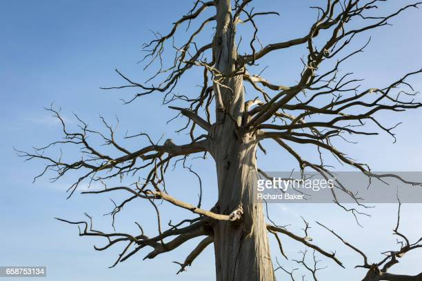 One of three scarred Chestnut trees remains of a wood on the Waterloo battlefield where French troops died in their thousands outside the walls of...