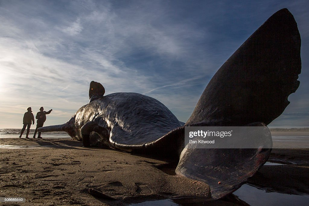 One of three Sperm Whales, which were found washed ashore near Skegness over the weekend, on January 25, 2016 in Skegness, England. The whales are thought to have been from the same pod as another animal that was found on Hunstanton beach in Norfolk on Friday.