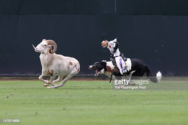 One of Tim WILD THANG Lepard's monkey and dog rodeo teams preform at the Bowie Baysox vs the Reading Phillies game at Prince George's Stadium in...