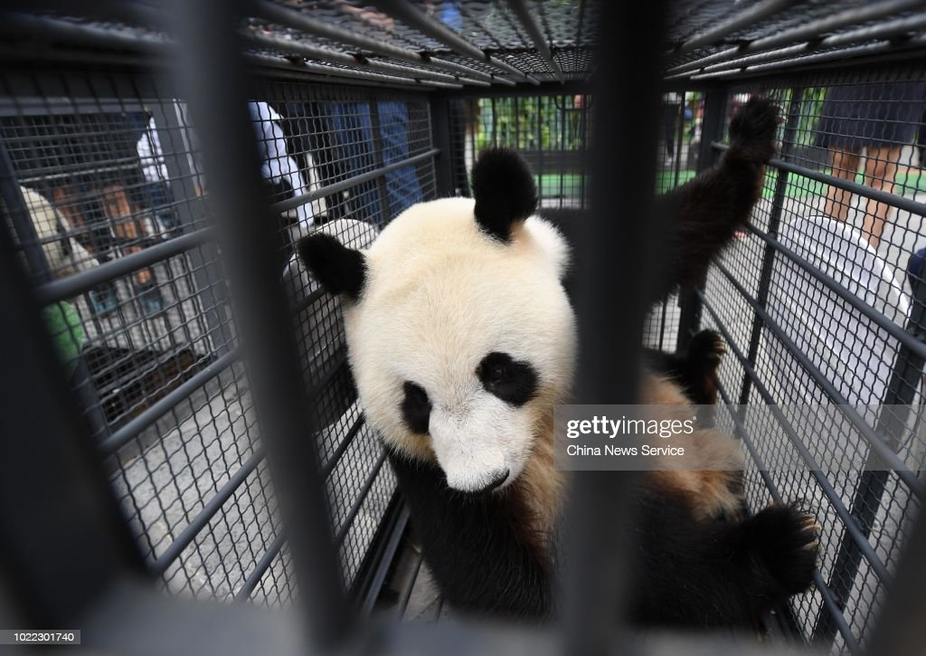 Giant Pandas Jia Jia And Meng Meng Move Back To Sichuan