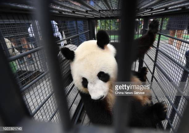 One of two giant pandas Jia Jia and Meng Meng waits for transportation at Jilin Siberian Tiger Park on August 20 2018 in Changchun Jilin Province of...