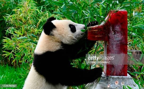 One of two panda cubs inspects an ice cake the twins got for their first birthday in their enclosure at the Zoologischer Garten zoo in Berlin on...