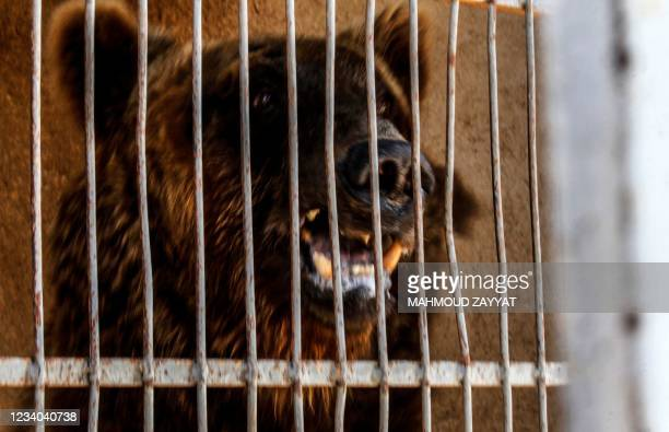One of two Syrian brown bears is pictured in a cage before being prepared to be transferred to the United States by members of the global animal...