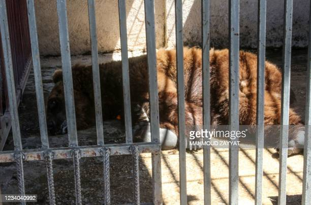 One of two Syrian brown bears is sedated before being prepared to be transferred to the United States by members of the global animal welfare...