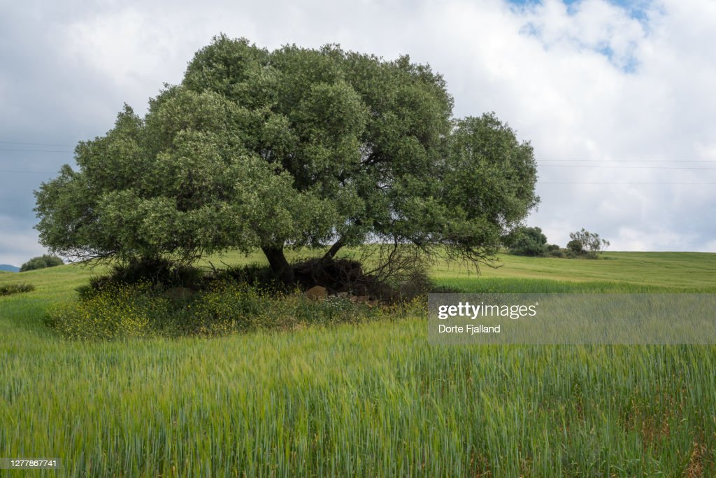 One olive tree in a green field against a cloudy sky : Foto de stock