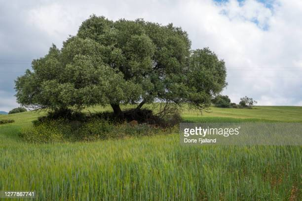 one olive tree in a green field against a cloudy sky - dorte fjalland fotografías e imágenes de stock