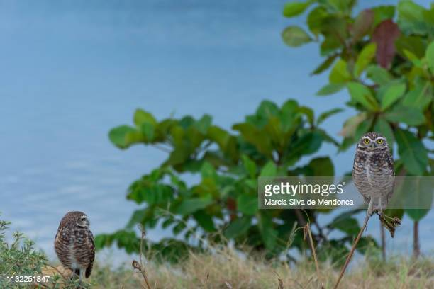 One owl looks ahead and the other, to its side, on the edge of the Saquarema lagoon.