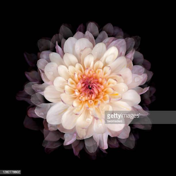 one pastel toned chrysanthemum flower head portrait. - flower head stock pictures, royalty-free photos & images