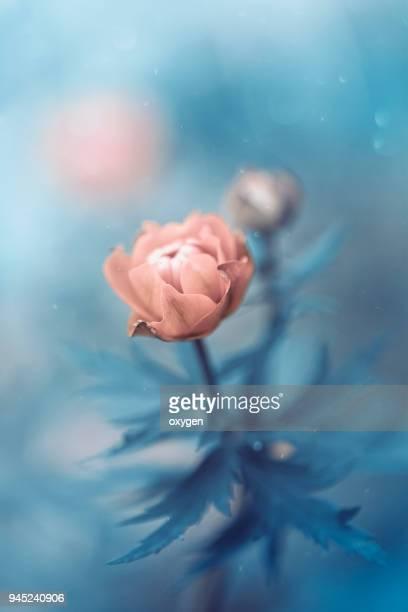 One Pink Trollius Flower on Blue background closeup